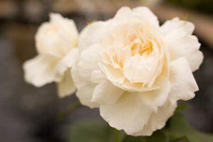 savon à froid à la rose musquée